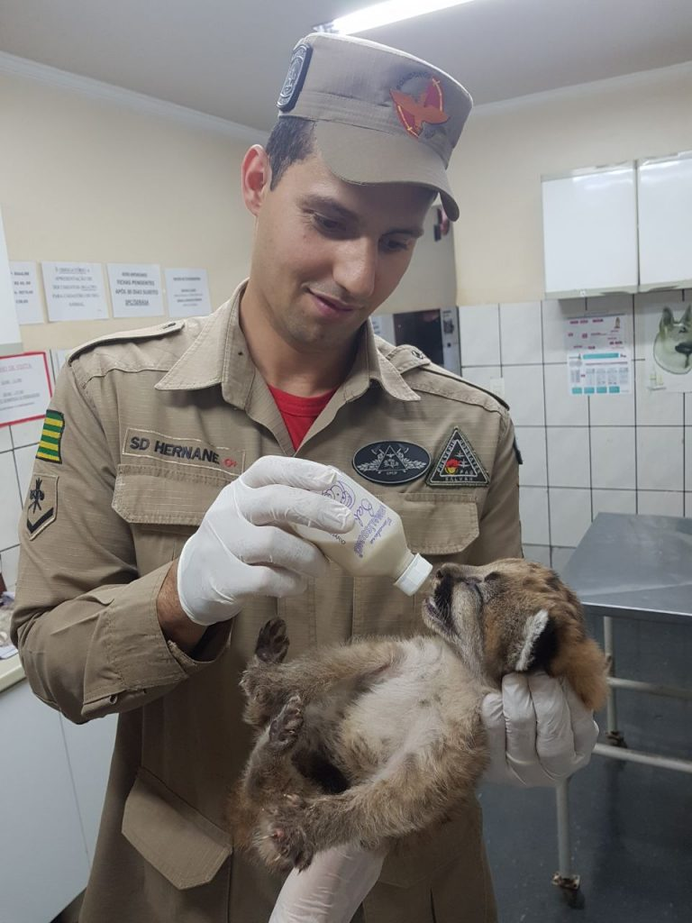 Filhote de onça parda é resgatado em Santa Helena de Goiás