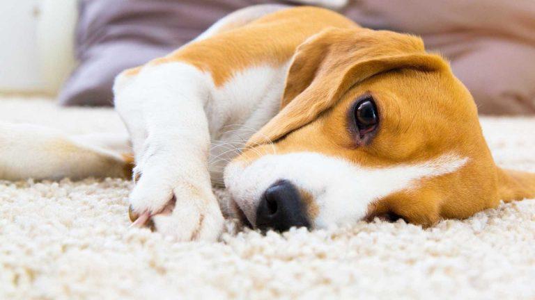Insuficiência cardíaca em cães, fique atento