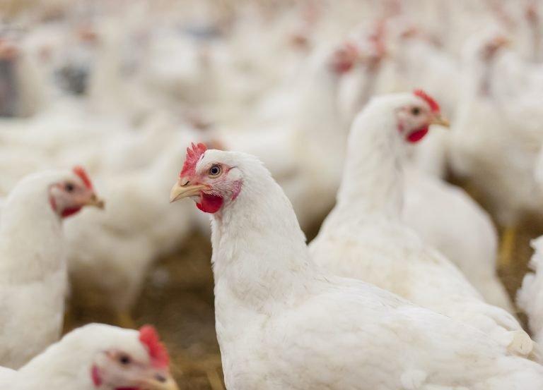 Com crescimento de 18,2%, Goiás é o estado com maior rebanho de aves do Centro-Oeste