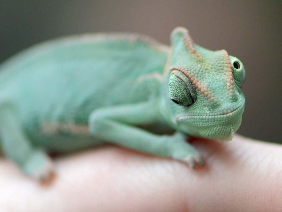 A veiled chameleon, also known as Yemen chameleon, sits on the finger of a keeper during an animal inventory at the Biosphere Potsdam tropical plants and animal park in Potsdam, eastern Germany, on January 2, 2014.      AFP PHOTO / DPA / RALF HIRSCHBERGER / GERMANY OUT