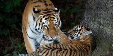 A rare Amur Tiger cub, aged four months, plays with its mother Tschuna as it experiences its reserve for the first time at the Yorkshire Wildlife Park near Doncaster, northern England on July 29, 2015. Only around 450 Amur Tigers survive in the wild in their native Russia and  Yorkshire Wildlife Park's release of three cubs, named Hector, Harley and Hope, into their reserve coincides with International Tiger Day.  AFP PHOTO / OLI SCARFF / AFP PHOTO / OLI SCARFF